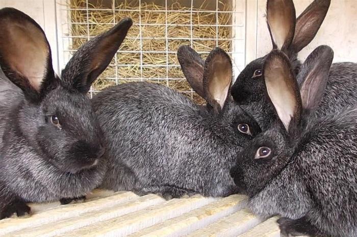 вуалево серебристые кролики