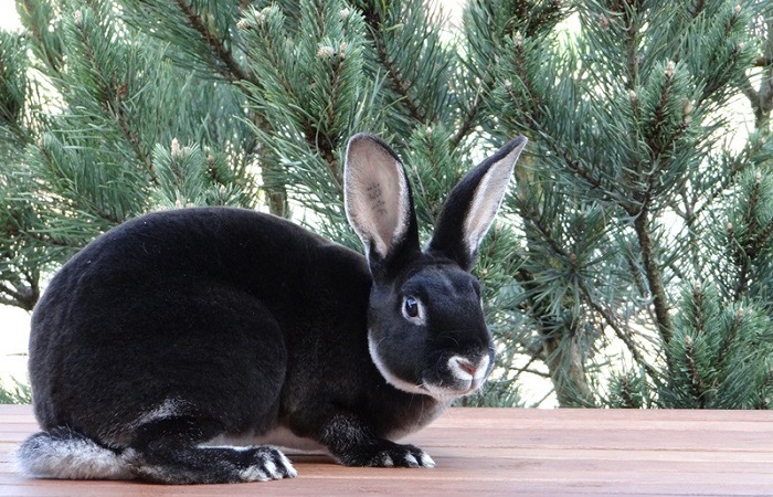 черный кролик породы рекс