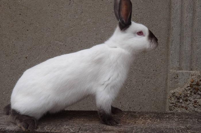 черно-белый горностаевый кролик