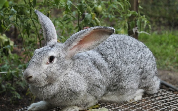серый великан кролик
