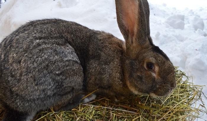 кролик ест сено на снегу