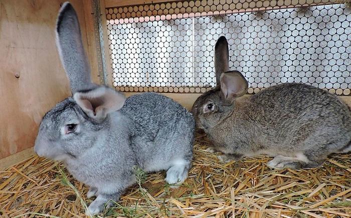 кролик серый великан в клетке