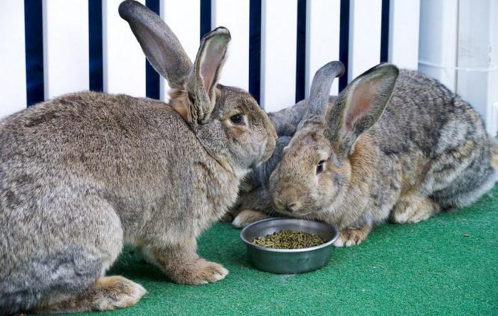 серые кролики едят из миски