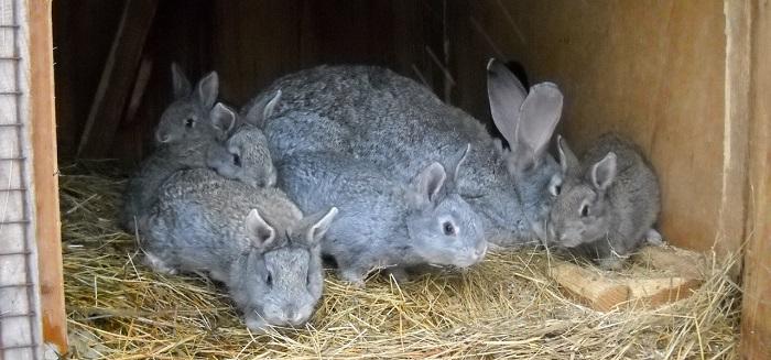 крольчата серого великана