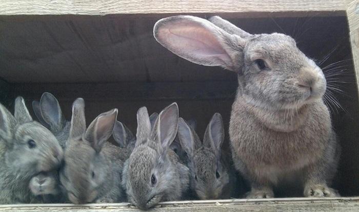 серые крольчата и крольчиха