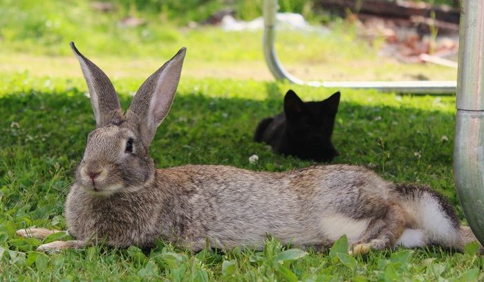 большой серый кролик