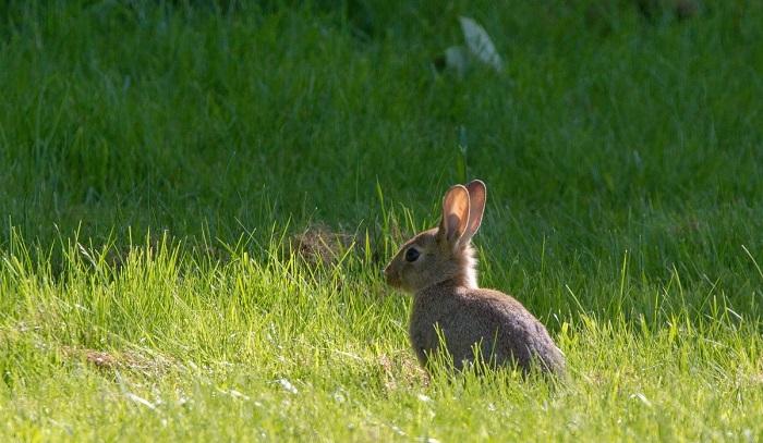 дикий кролик в поле