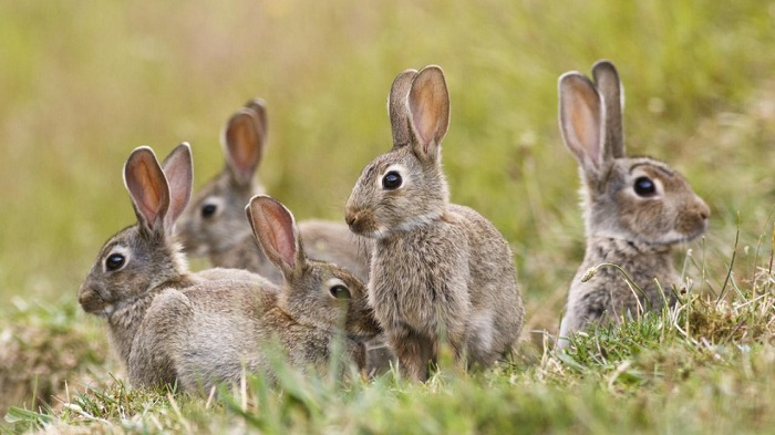 кролики в дикой природе