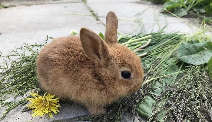 карликовый кролик и одуванчик