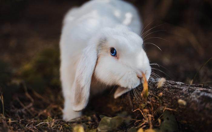 белый вислоухий кроль