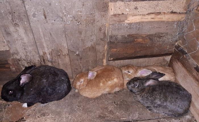 старенькие кролики