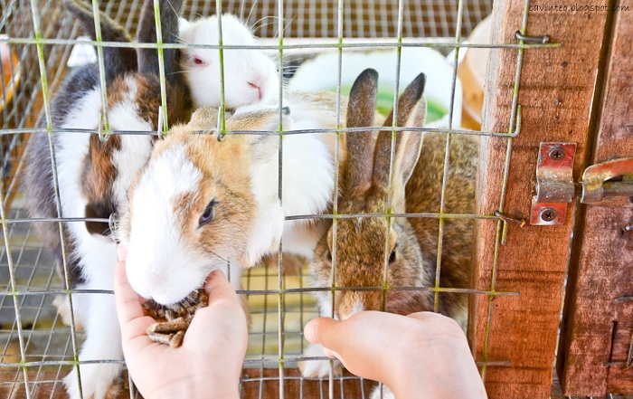 кормление кроликов из рук