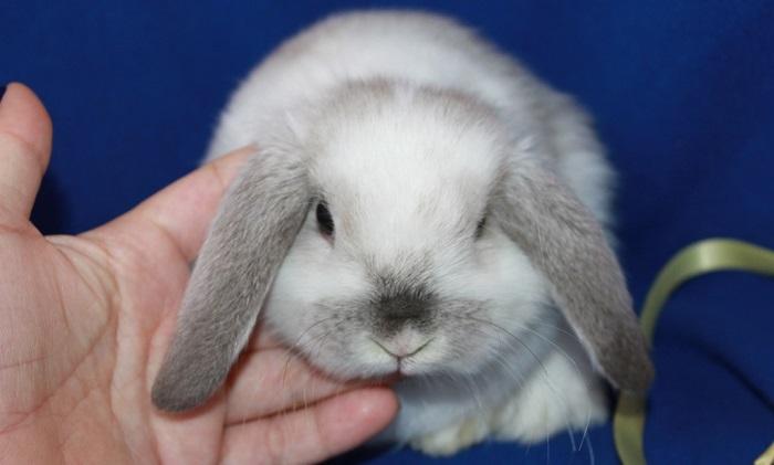 серебристый вислоухий кролик