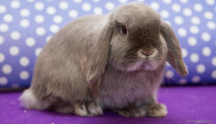 мускулистый кролик