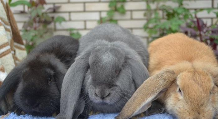вислоухий баран три кролика