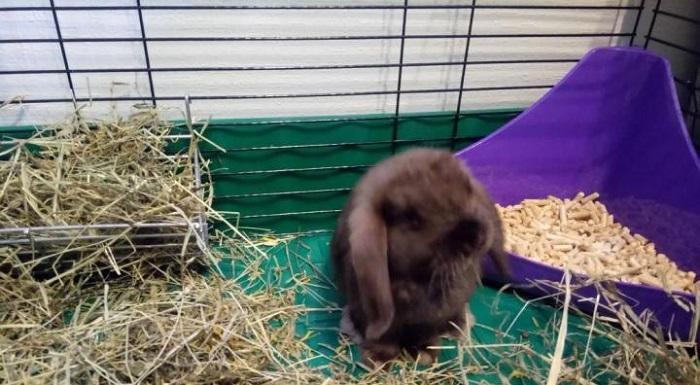 карликовый вислоухий серый кролик
