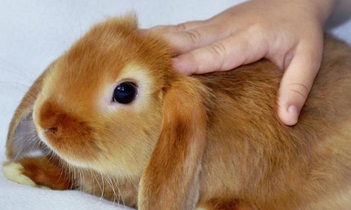 рыжего кролика гладят