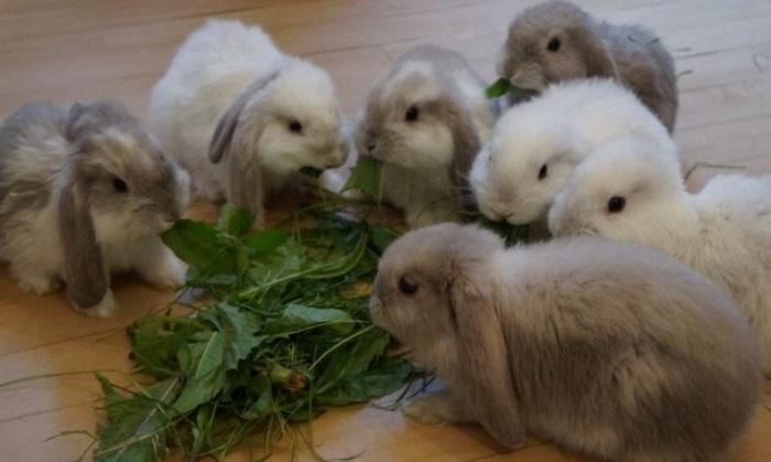 крольчата вислоухих баранов едят