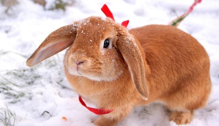 вислоухий баран на снегу