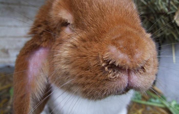 Насморк у кролика фото