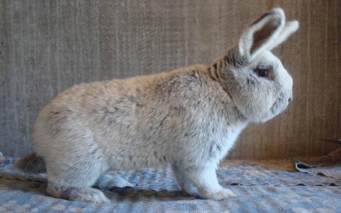фото кролика бсс