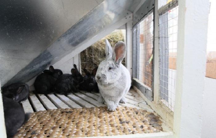 крольчиха и крольчата бсс