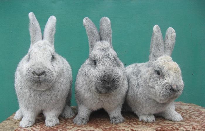 три кролика бсс