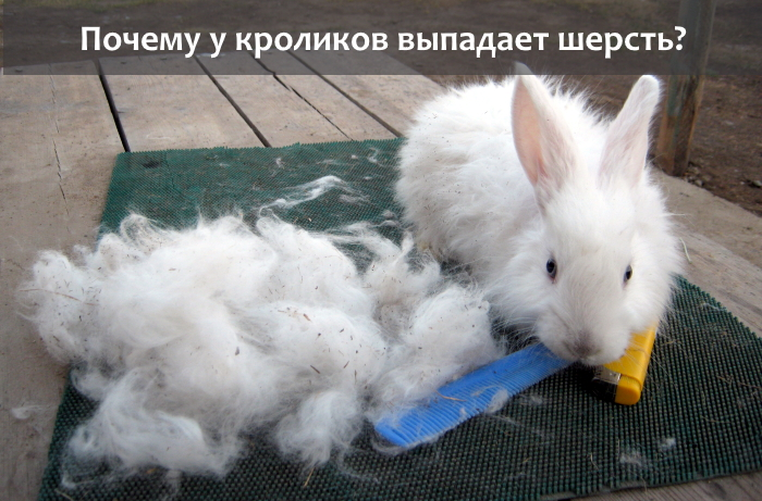Почему линяет кролик