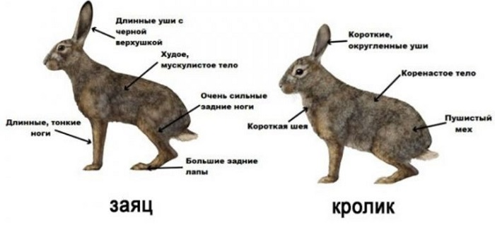 схема отличия кроликов