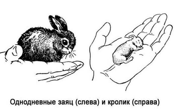 однодневные кролик и заяц