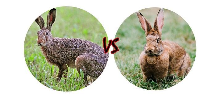 заяц против кролика