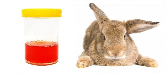 кровь в моче кролика