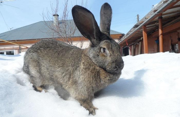 Серый великан порода кроликов