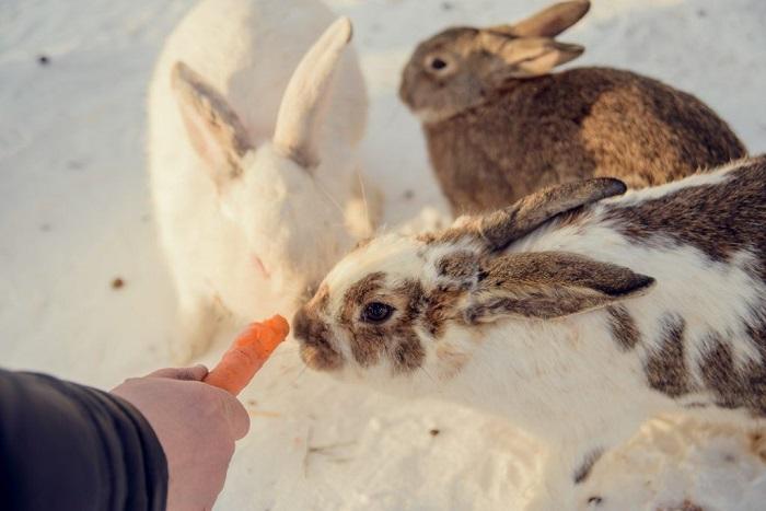 морковь кроликам