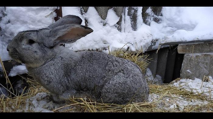 сено зимой кроликам