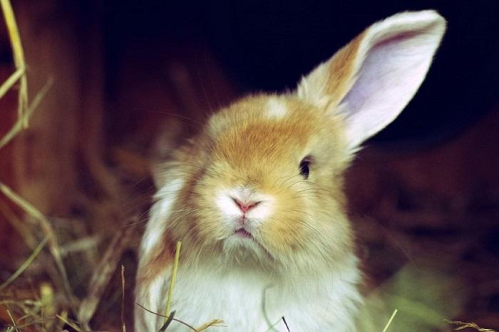 падения ушей у кроликов