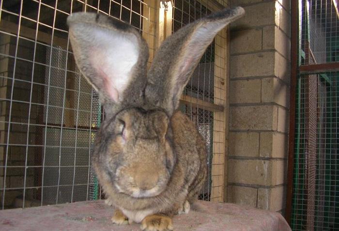 Почему у кролика горячие уши