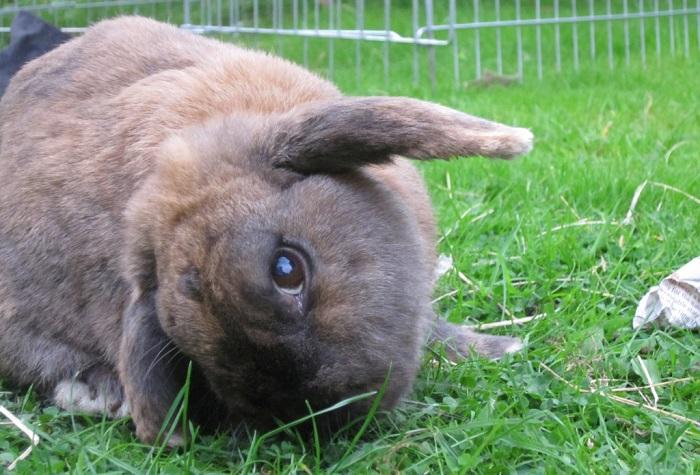 Кролик склоняет голову набок
