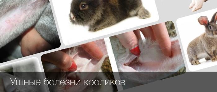Ушные заболевания у кроликов