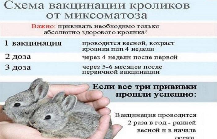 схема вакцинирования кроликов