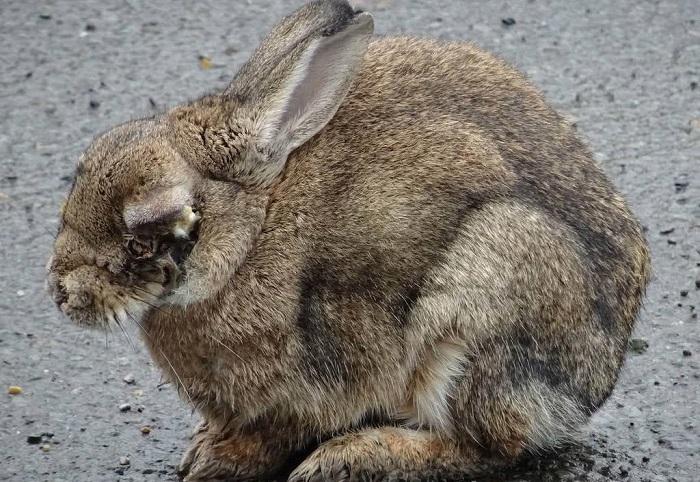 Кролик больной миксоматозом