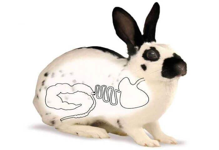жкт кролика