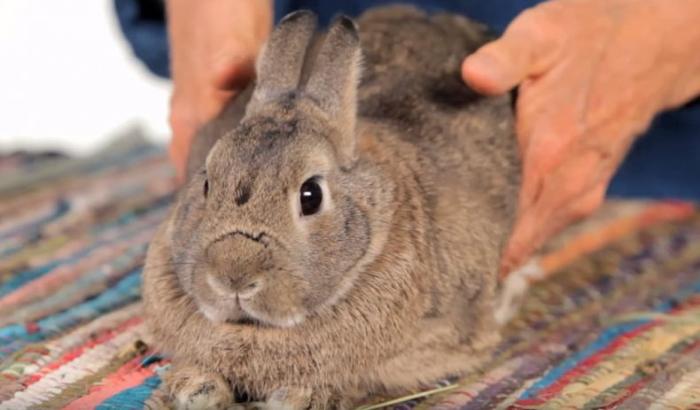 Пальпация кроликов картинка