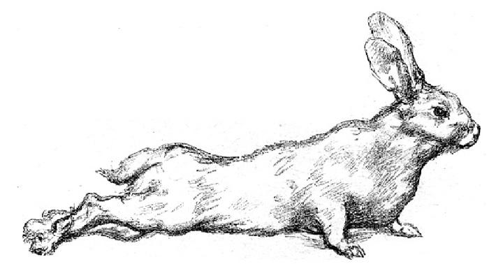 Культивация бешенства на кроликах