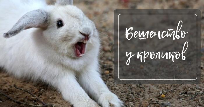 Бешеный кролик животное