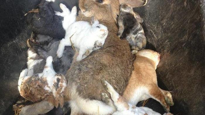 Кролики геморрагическая