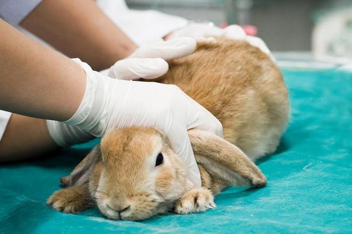 Осмотр кролика ветеринарным врачом