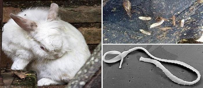 Паразиты кроликов simptomi