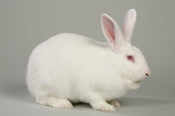 1 белый кролик на сером фоне