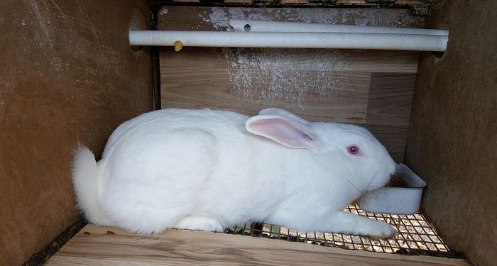 Кролик хиколь по описанию